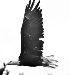 bald eagle in trees and flying