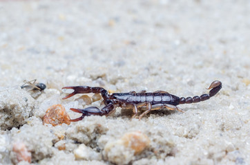 Scorpion creeps on the sand close up