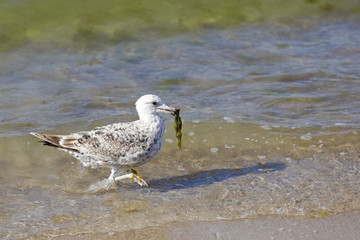 The gull in its beak holds green algae