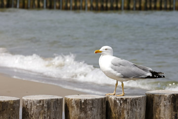 The seagull is seen in wooden poles