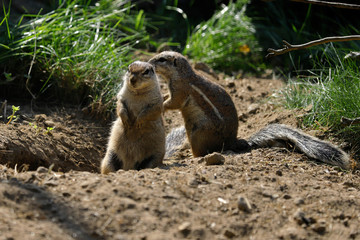 Full view of black-tailed prairie dog at a burrow entrance