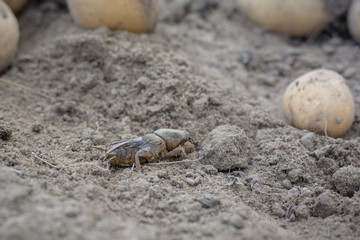 a harmful insect, an earthen agricultural pest. pest control. Gryllotalpa on the background of potatoes