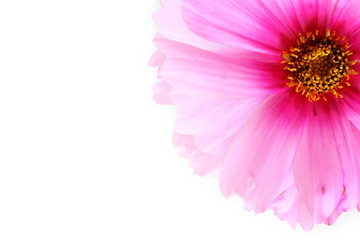 pink flower texture in white background for peace meditation spa health freedom nature concept background
