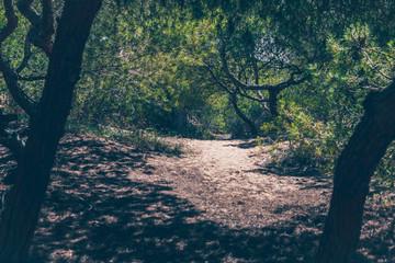 A path through a dense grove of cedar trees - Mediterranean flora