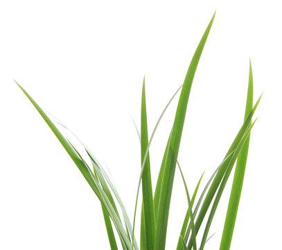 Bunch of green grass.