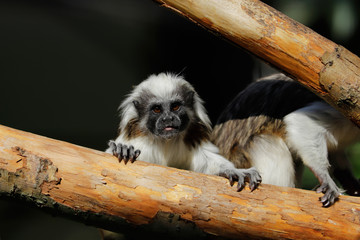 Female adult cotton-top tamarin a small New World monkeyon the tree trunk