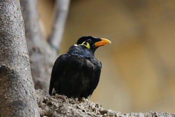 Close-up of common hill myna on the branch