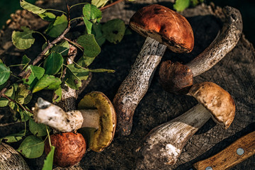 Several forest mushrooms on a wooden stump