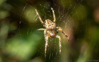Cross orb-weaver spider on the web