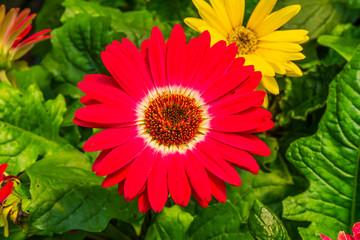 Red Barbertonl Daisy Gerbera Jamesonii Asterceae Flower Perrenial