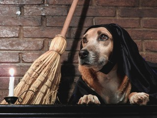 Costumed dog  witch broomstick bamboo dark apparent brick background