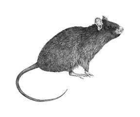 Monochrome Hand Drawn Illustration of a Sitting Rat Isolated on White Background