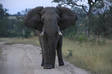 Elefante Africano Kruger Park