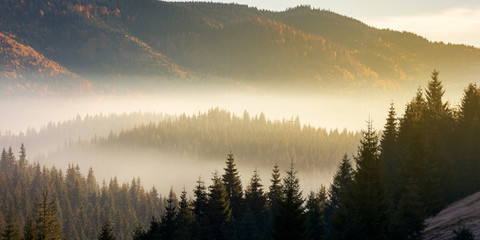 beautiful foggy scenery in autumn at sunrise. fog rise above the distant valley and spruce forest on the hill