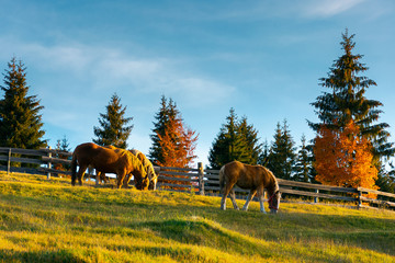 three horses grazing on a hill. wonderful rural scene in evening. forest behind the fence in the distance
