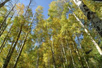 Aspen Tree Forest Autum