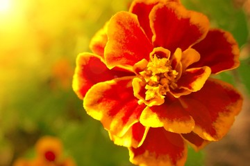 Tagetes Marigold Flower. marigolds  in bright sun rays. Autumn Flowers Background