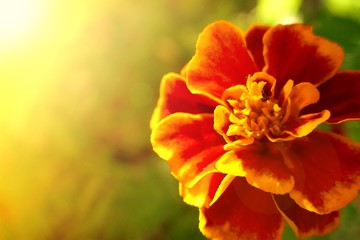 Tagetes Marigold Flower. marigolds close-up in bright sun rays. Autumn Flowers Background