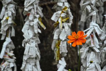 """orange flower in front of """"O-mikuji"""" tied to sacred rice ropes in a shrine"""