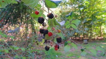 Moras en rama de arbusto de la planta zarzamora rojas y negras en la naturaleza, frutos silvestres maduros a finales del verano y principios del otoño en España