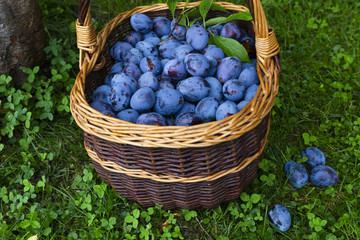 Freshly harvested delicious and juicy plums in a brown basket resting on the grass besides a plum tree in an orchard