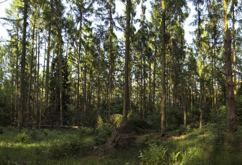 forest plantations. plantations of pine, larch, douglas in Europe