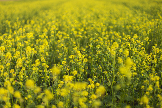 Closeup of a yellow budding and flowering Wild Mustard or Sinapis arvensis plant against a blurred field full of these yellow flowers.. Rural Meadow Covered with Yellow Flowers (Sinapis arvensis)