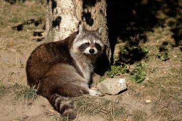 Full view of sunbathing relaxing sitting lotor common raccoon (procyon lotor)