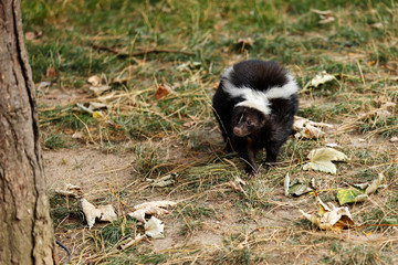 Full view of mephitidae is a family of mammals comprising the skunks and stink badgers