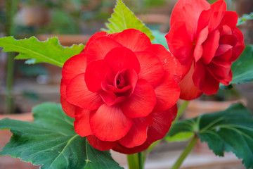Red begonia whit green leaves on a blurred background