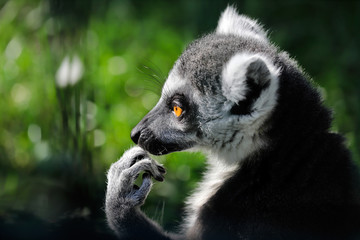 Portrait of ring-tailed lemur (catta) on the green background