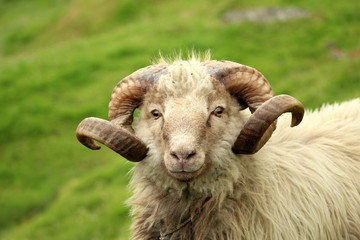 Fond de hotte en verre imprimé Sheep Faroense sheep or ram portrait with beautiful curved antlers