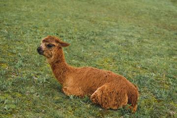 A brown llama lies on a background of green grass. Rainy weather. Peru