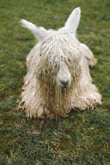 The white lama lies on a background of green grass. A little dirty coat. Rainy weather. Peru