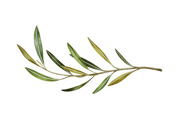 Watercolor branches of leaf olive isolated on white background