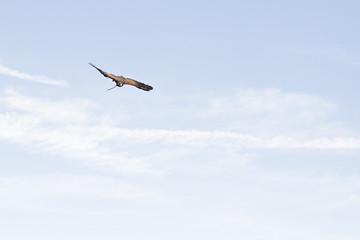 Harris's hawk (Parabuteo unicinctus) flying