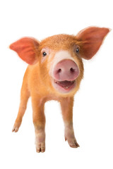 smiling piglet isolated