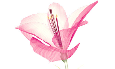 x-ray image of a flower  isolated on white, the Ameryllis 3d illustration.