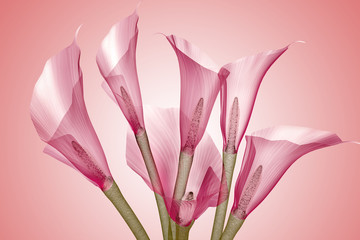 x-ray image of a flower isolated on pink , the Calla Lily