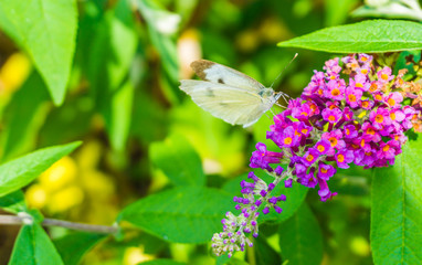 Beautiful white butterfly macro close up drinking nectar out of a small flower on a butterfly bush
