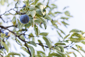 Ripe plums on tree branch. View of fresh organic fruits with green leaves on plum tree branch in the fruit garden. Bright minimalism photo