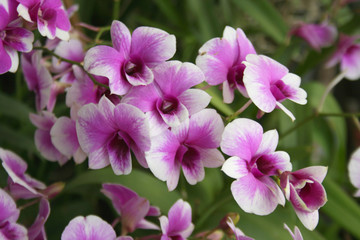 orchid purple beauty in farm south Thailand