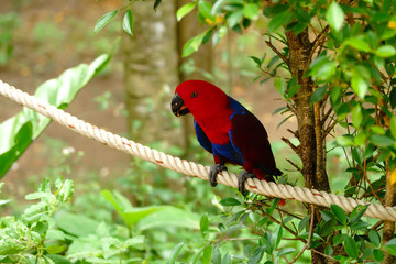 The red parrot sits on a rope beside a tree. Wildlife caused by tropical forest Beautiful parrot on a green tree in a zoo in Khao Kheow.