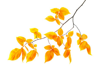 orange autumn branch isolated