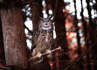 Wall Mural - Eurasian Eagle Owl