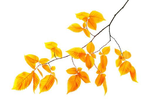 orange autumn branch isolated