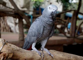 Pretty gray parrot