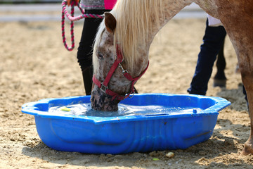 Thirsty domestic horse drink fresh clear water on the ground