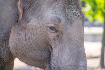 elephant. the elephant walks in the street