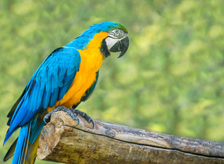 blue is a large parrot sitting on a tree.
